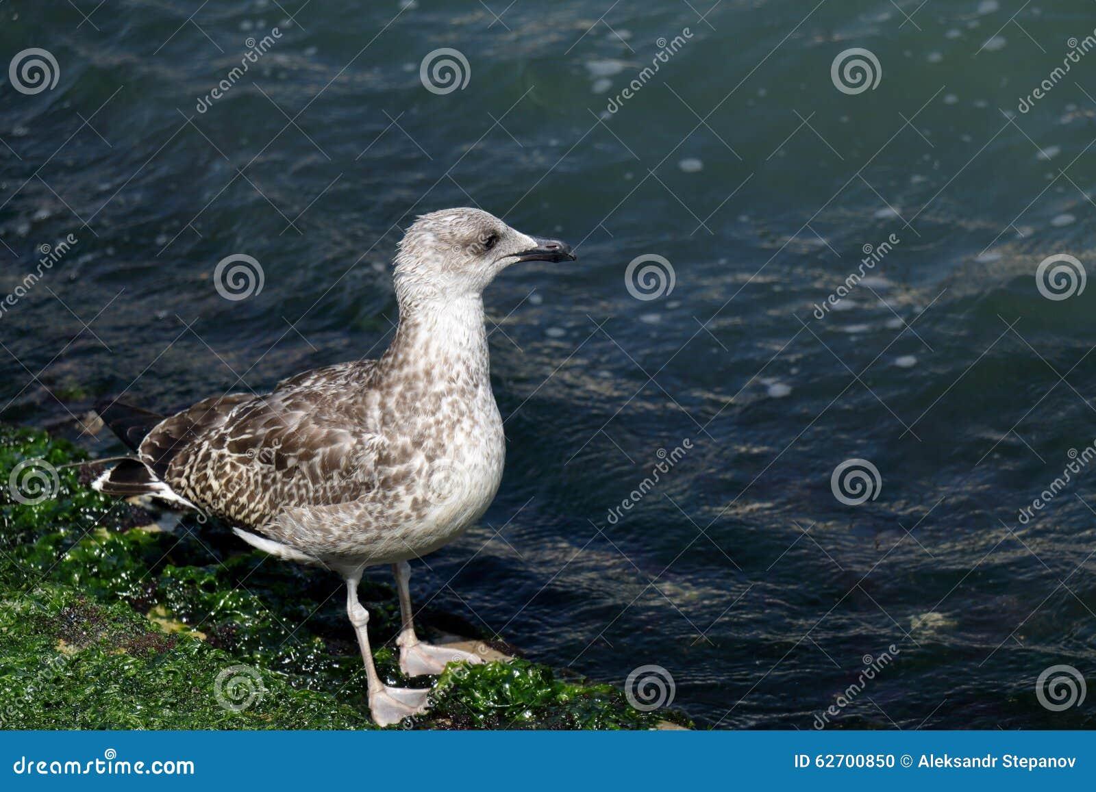 Download Seagull που περπατά κατά μήκος της ακτής με τα άλγη στη Βενετία Στοκ Εικόνες - εικόνα από φυσικός, ράμφη: 62700850