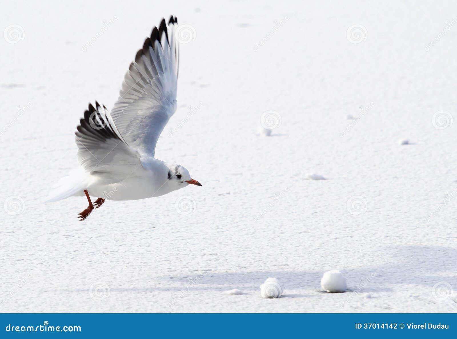 Seagull που πετά επάνω από την παγωμένη θάλασσα