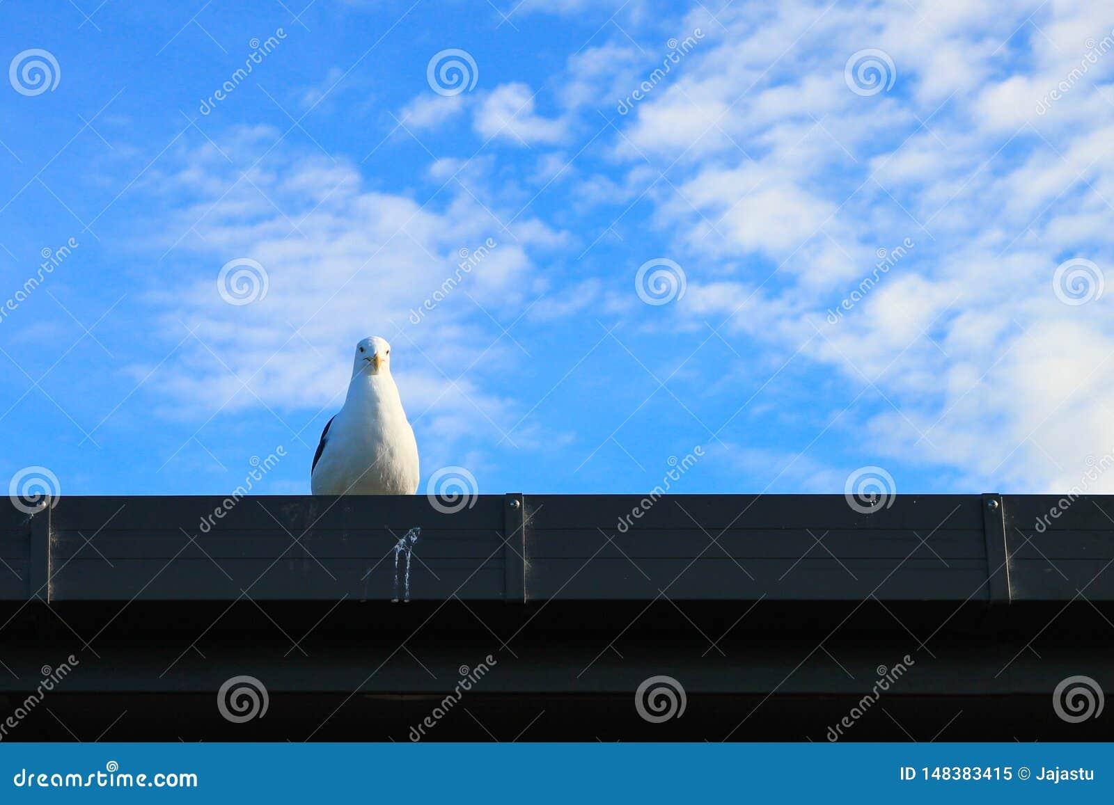 Seagull της Νέας Ζηλανδίας στη στέγη