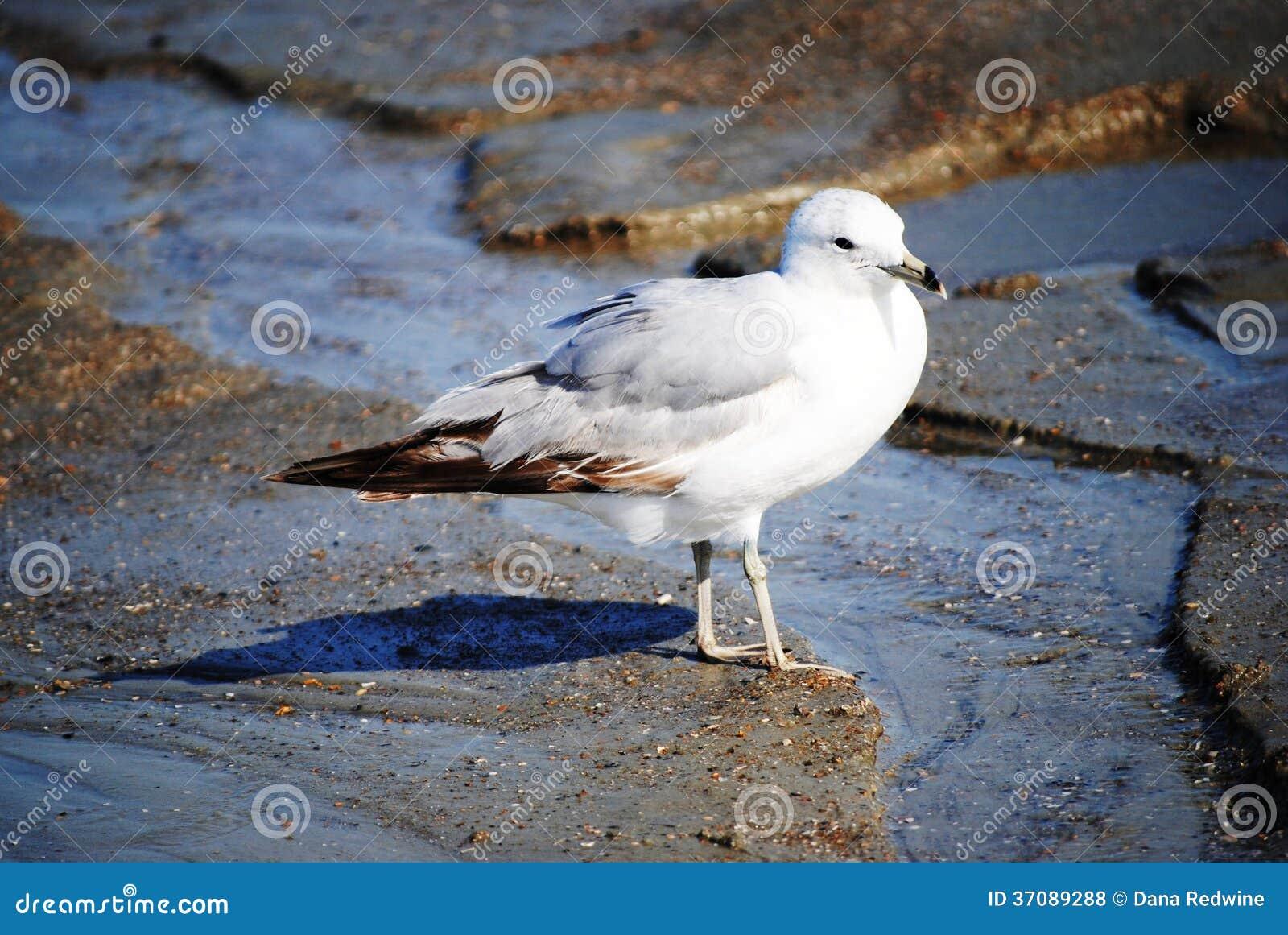 Download Seagull zdjęcie stock. Obraz złożonej z piórka, biały - 37089288