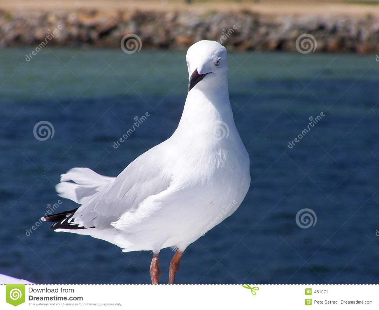 Download Seagull stock image. Image of seagulls, flight, flying - 461071