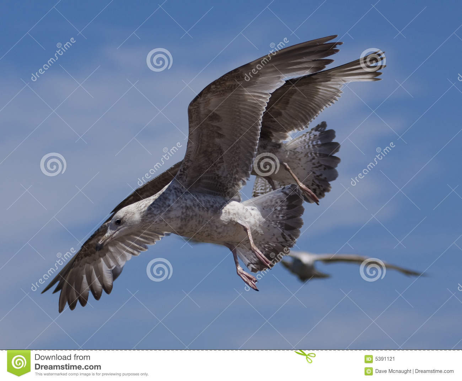 Seagull birds in flight