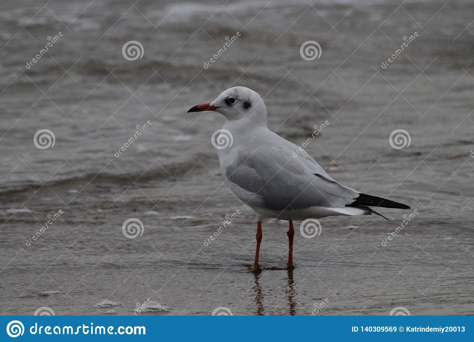 Seagull Black sea. Blaсk heights dissected fussy gulls.