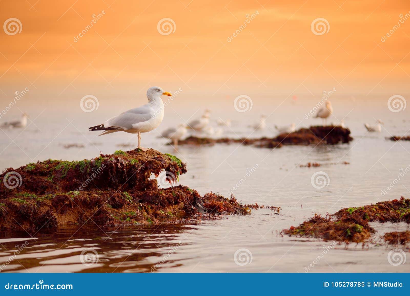 Seagull blisko imponująco czerwonych piaskowów Ladram zatoka na Jurajskim wybrzeżu, światowego dziedzictwa miejsce na Angielskieg