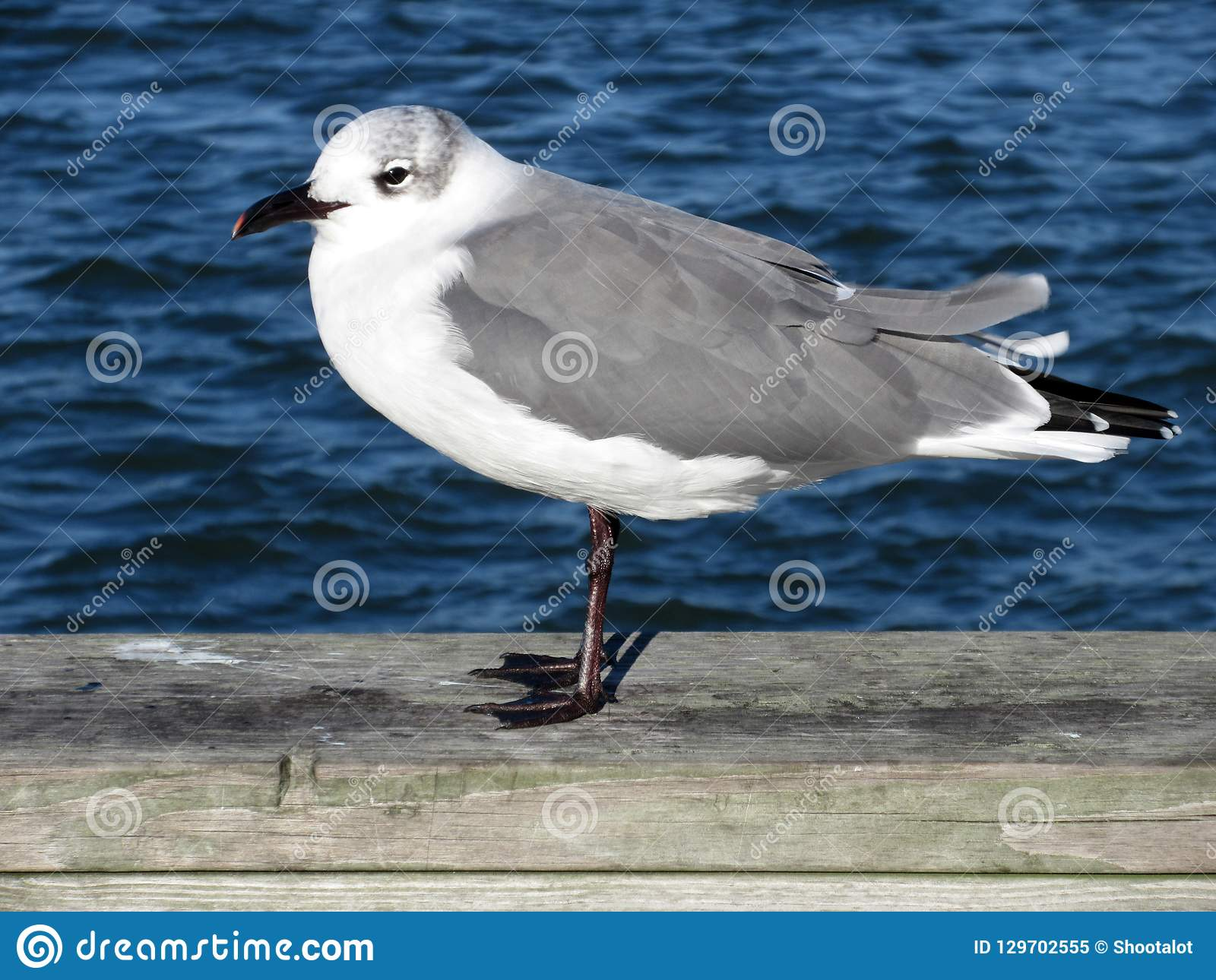 Seagull and Blue Water in Ocean City Maryland