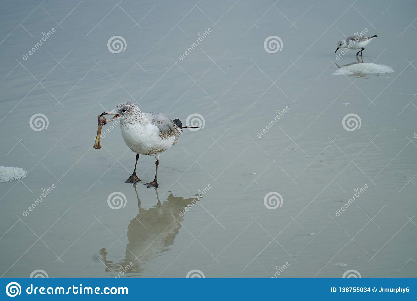 Seagull With Chicken Bone With Baby Seagull Stock Photo