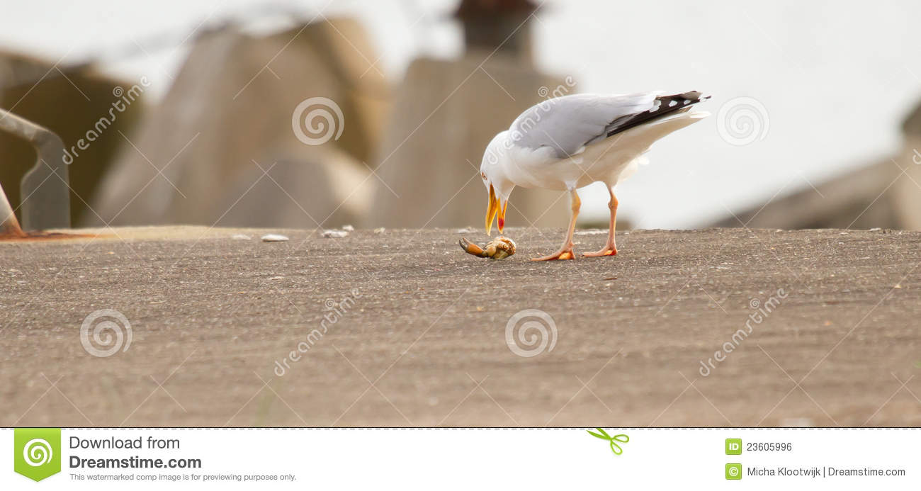 A seagull is eating