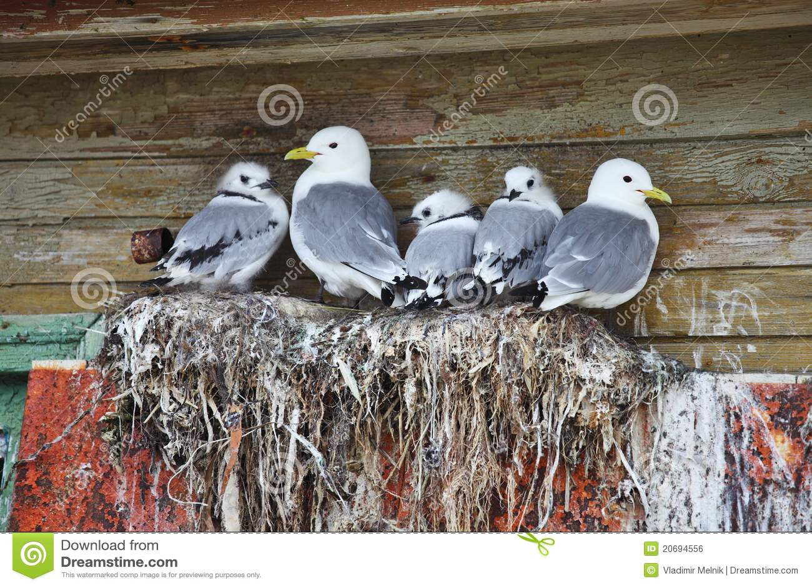 Seagull family - Black-legged Kittiwake