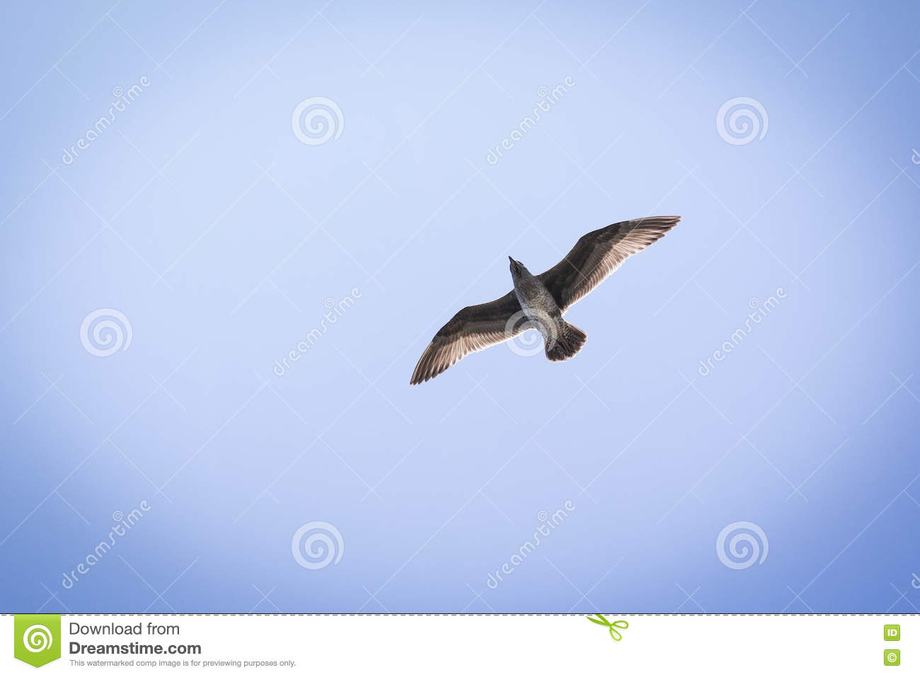 Seagull in flight against a blue sky with sunlight through feathers