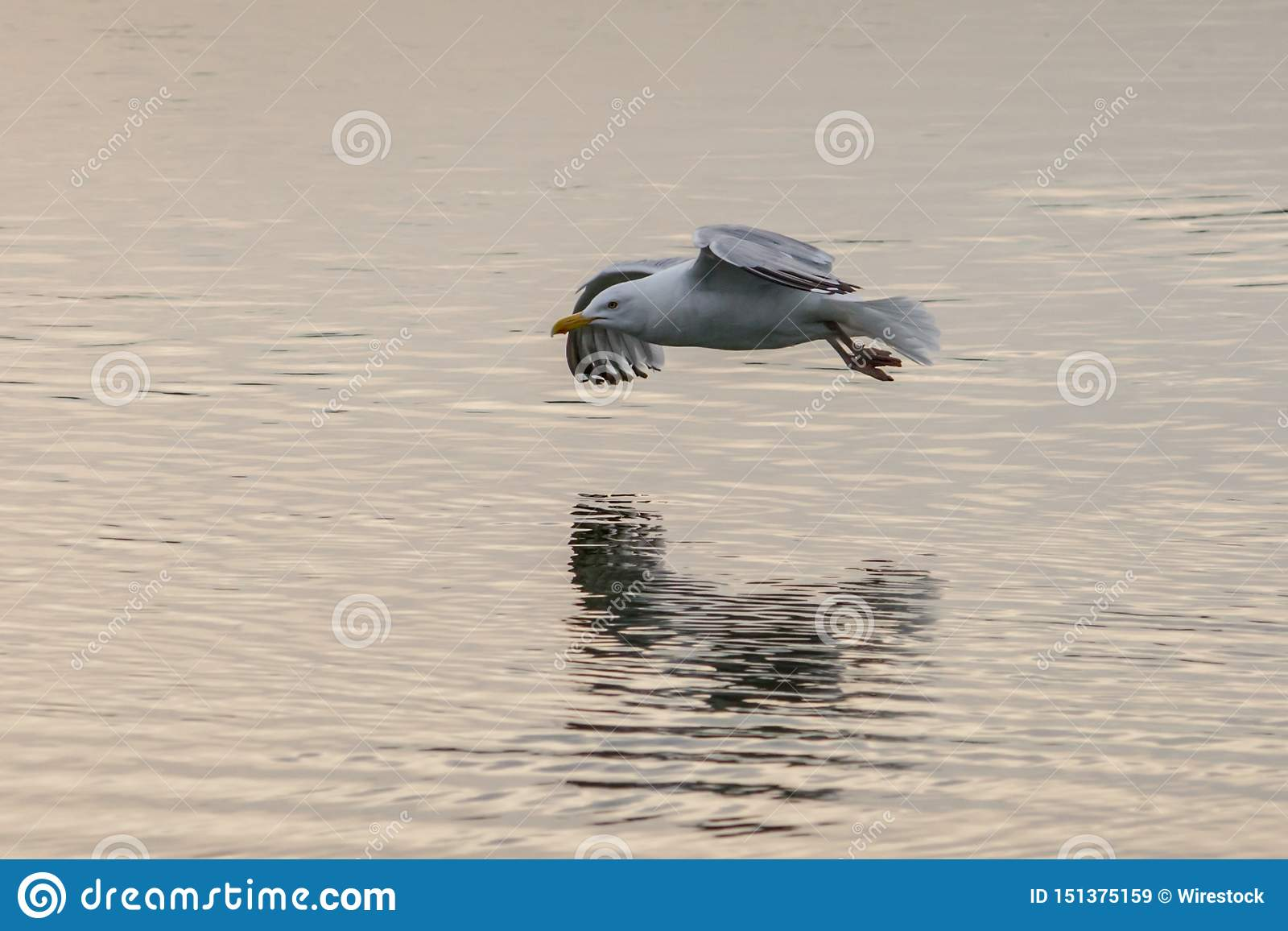 Seagull flying low over a lake with reflection in the water