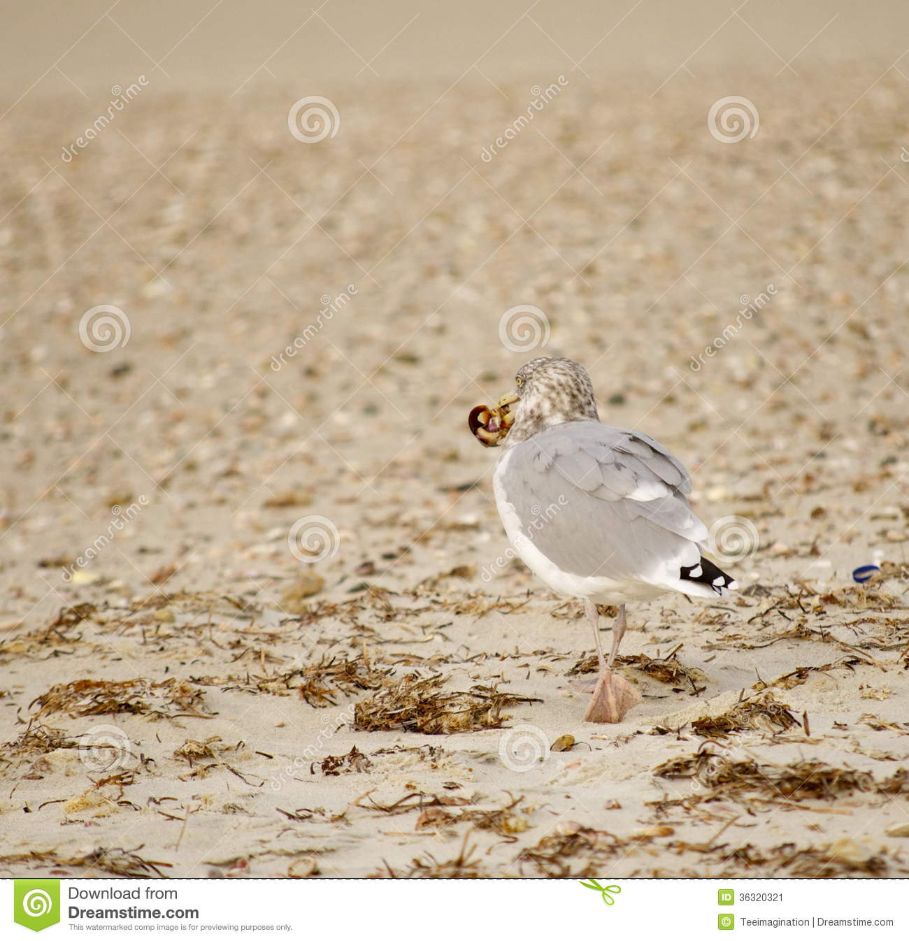 Seagull With Food In Beack Stock Image
