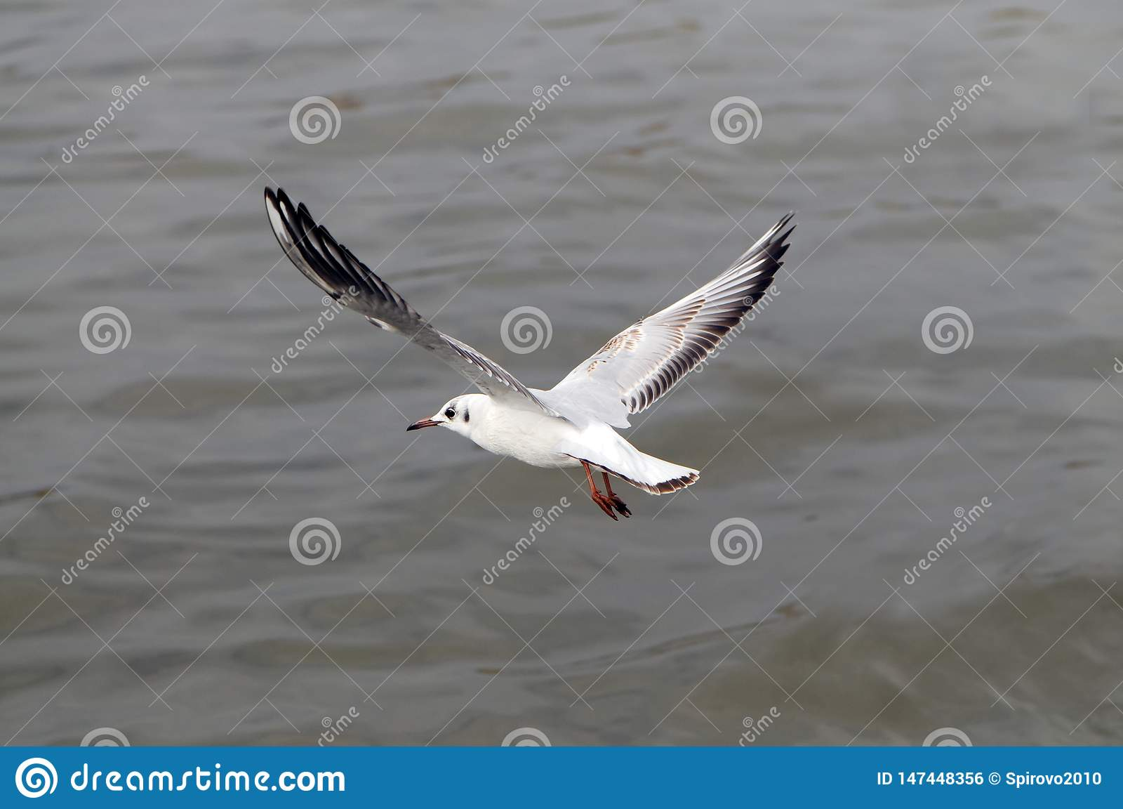 Seagull hover over deep blue sea.