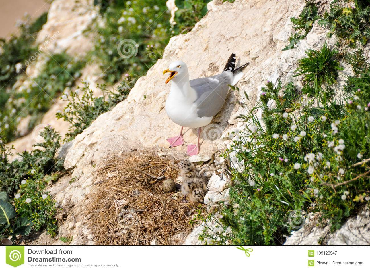 Seagull and its nest stock image  Image of france, young
