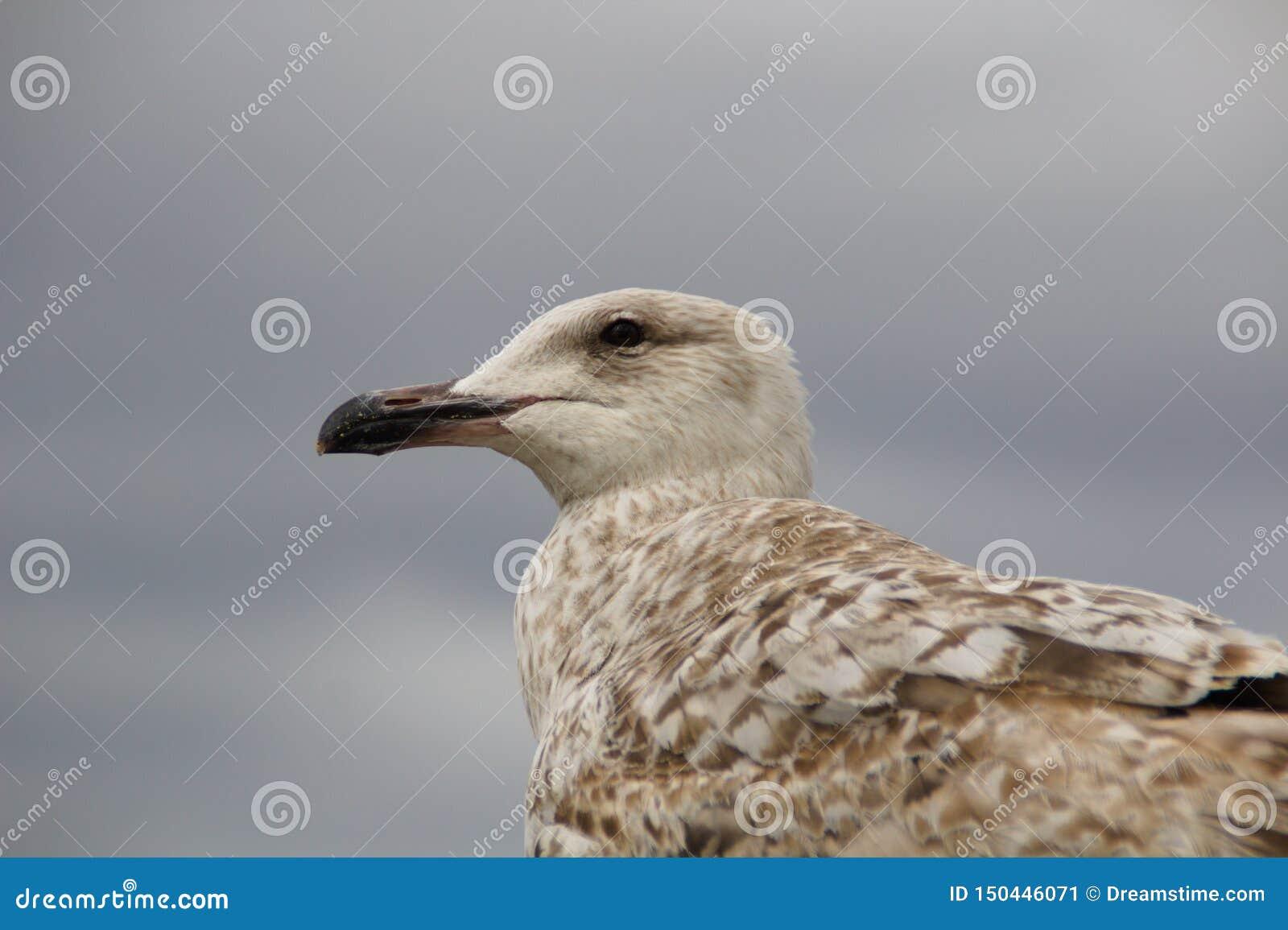 Seagull closeup looking left blurred bg