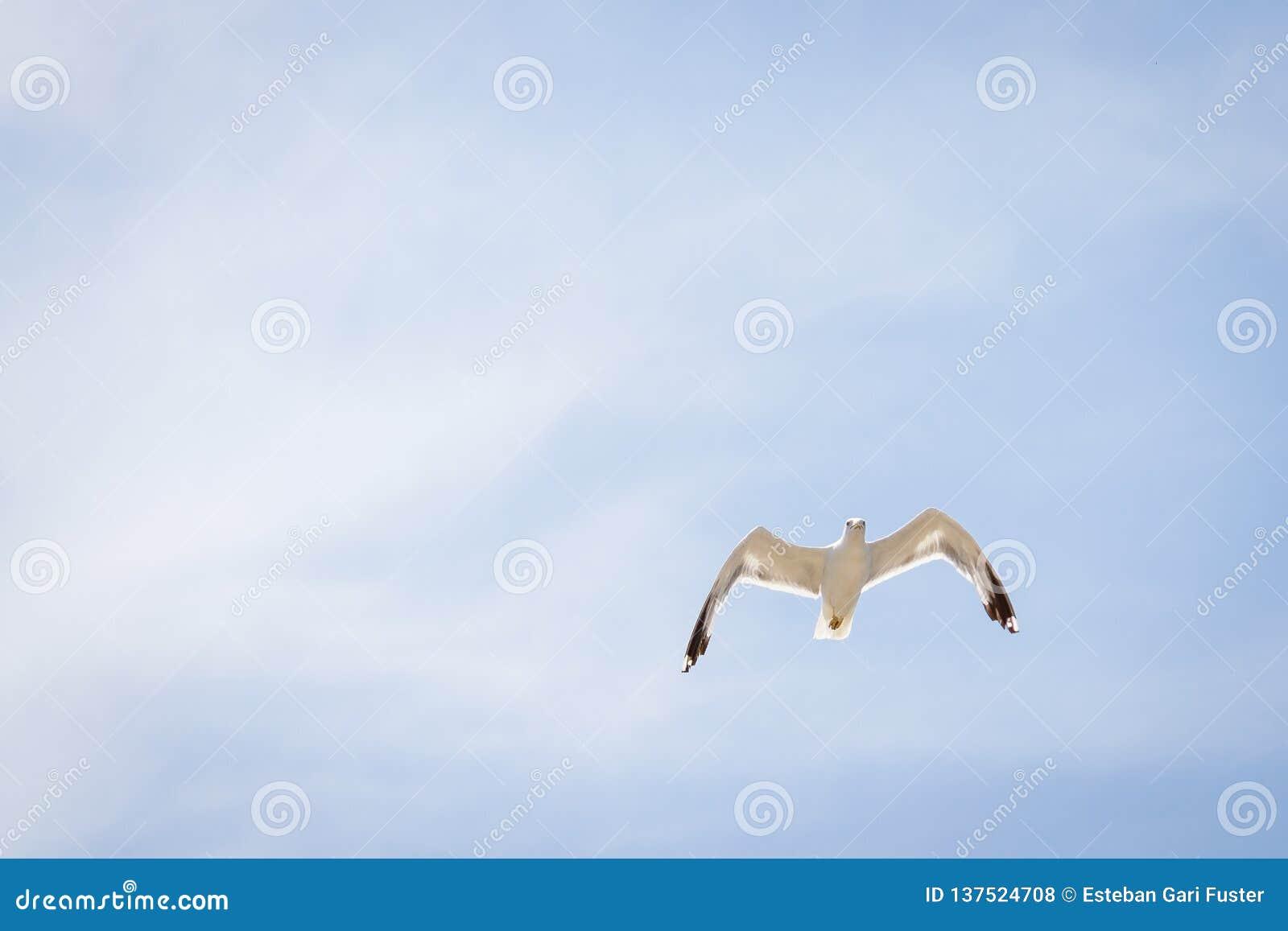 Seagull lata nad niebem