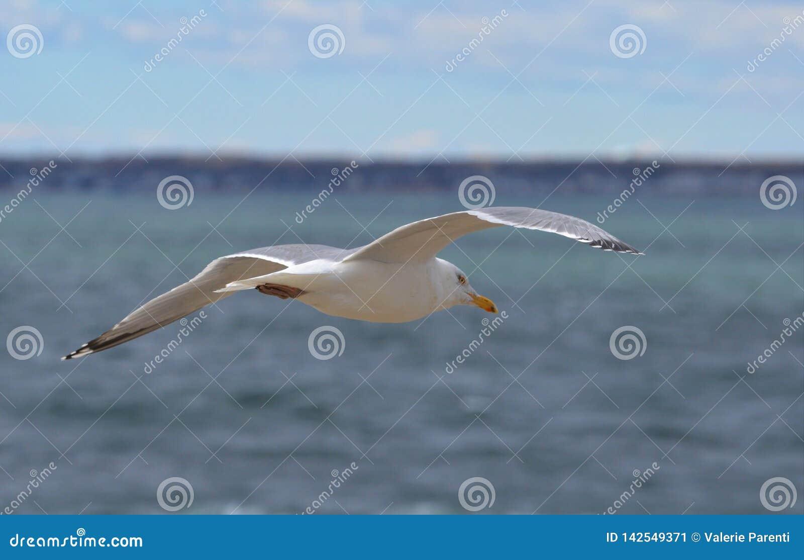 Seagull lata nad ocean plażą