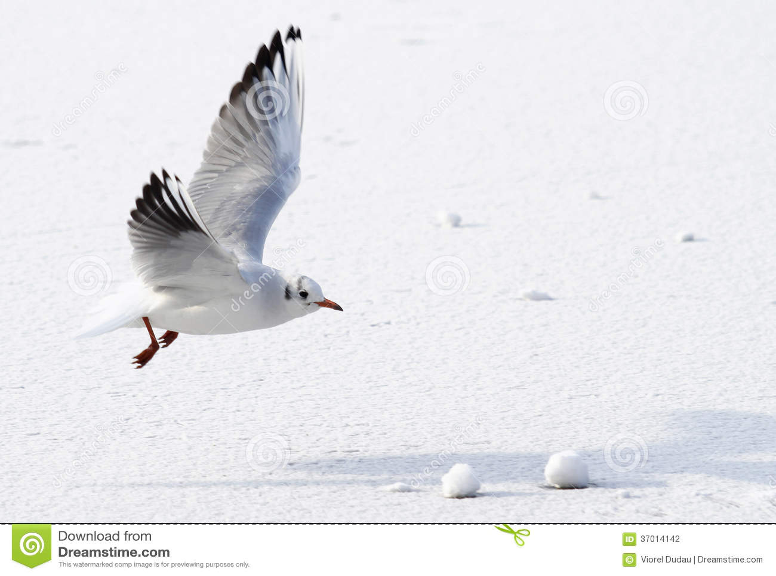 Seagull latania above marznący morze