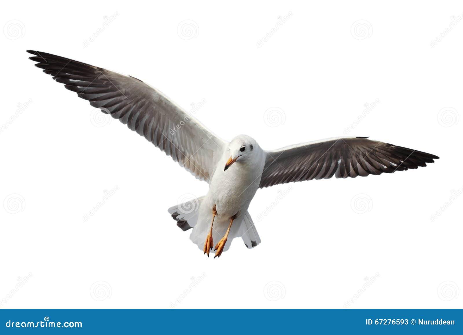 Seagull latanie