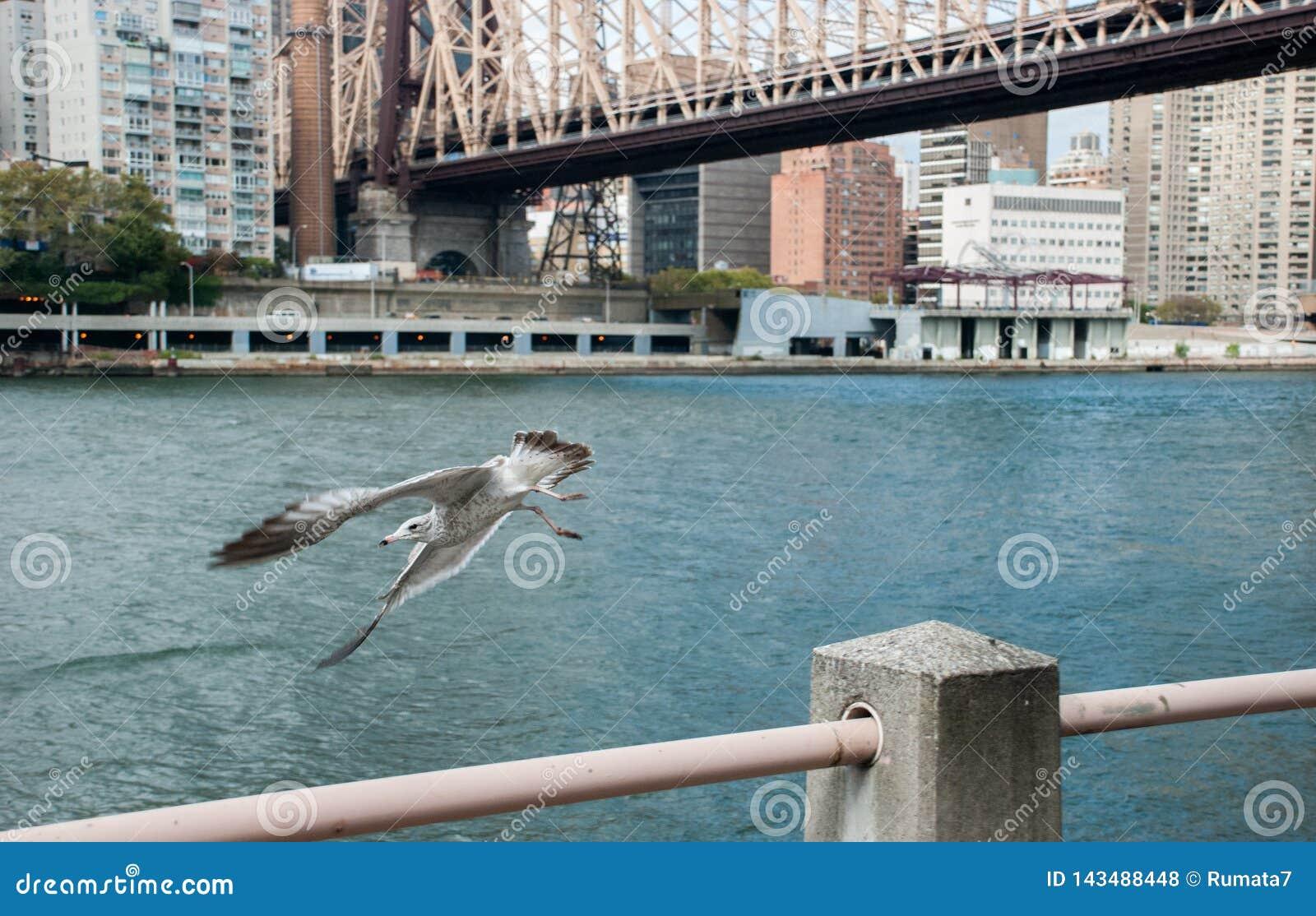 Seagull latanie obok Queensboro mostu nad Wschodnią rzeką, to łączy Roosevelt wyspę upper east side Manhattan
