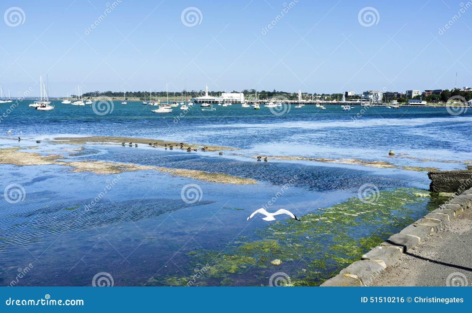 Seagull latanie za widokiem Geelong zatoka