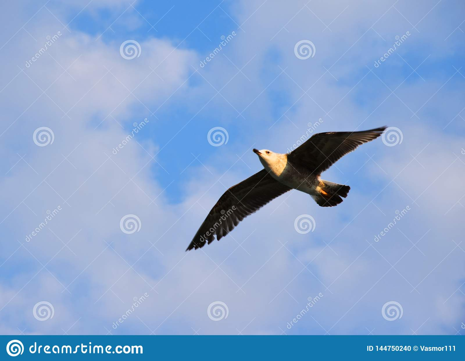 Seagull morzem