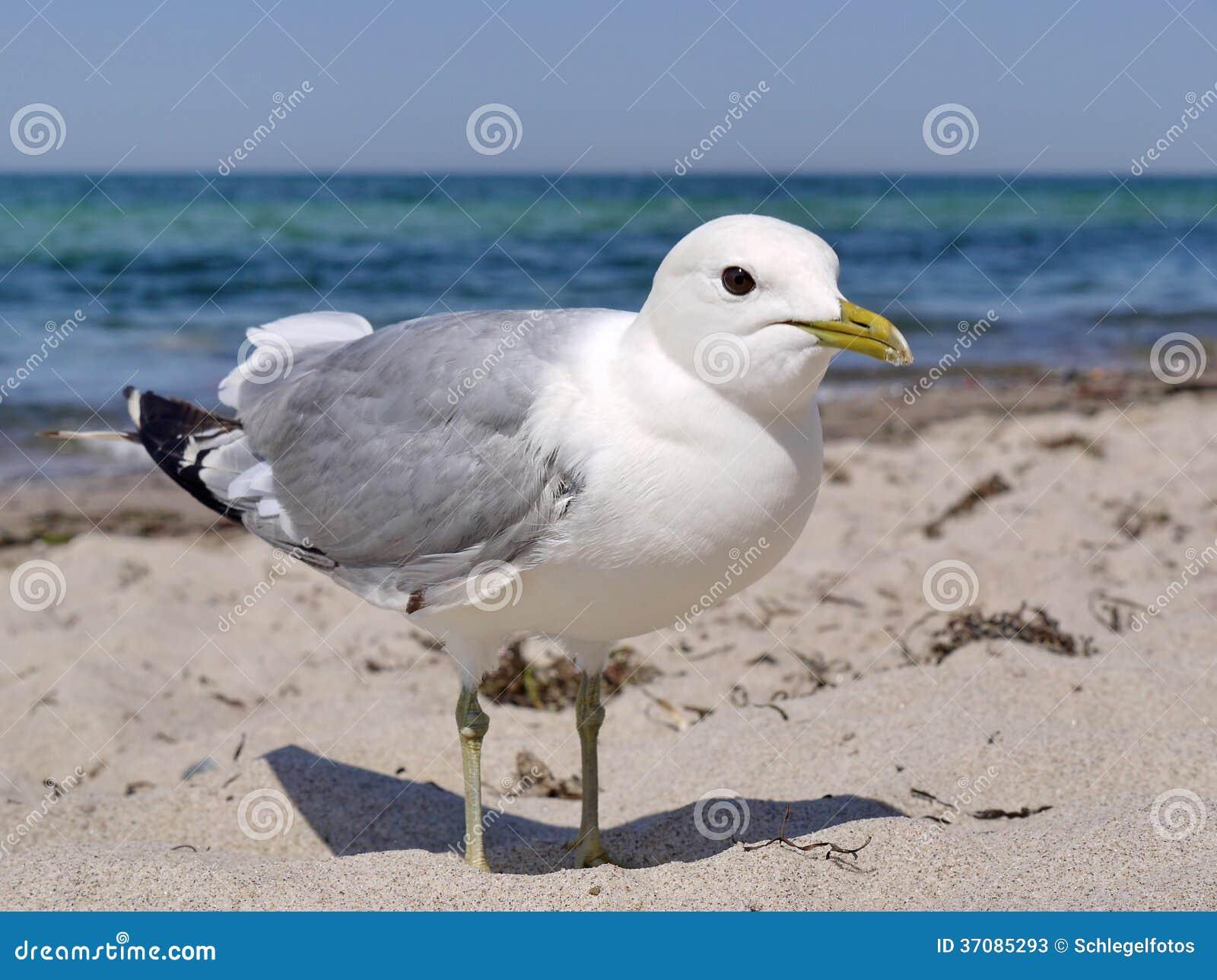 Download Seagull na plaży obraz stock. Obraz złożonej z przyroda - 37085293