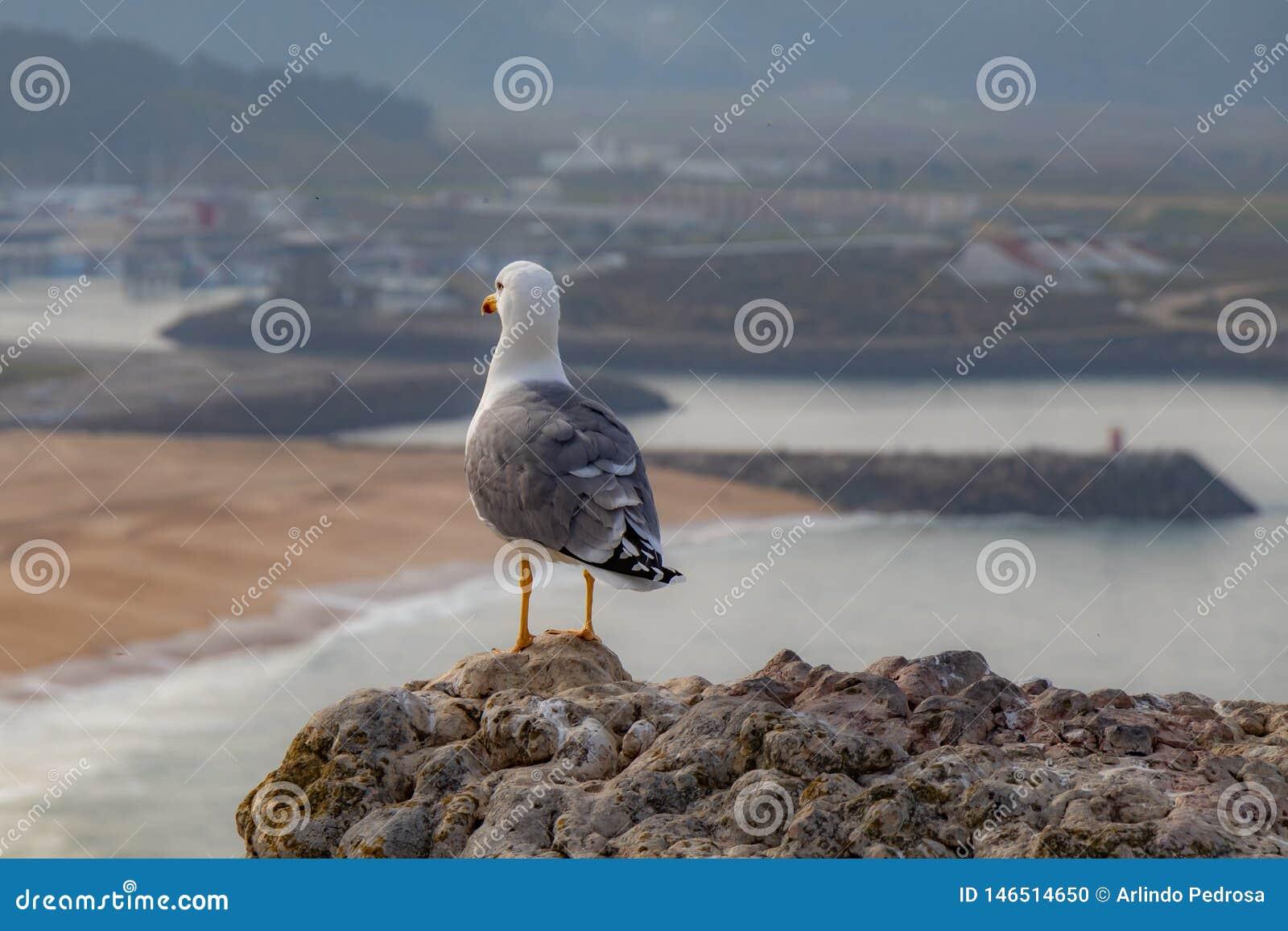 Seagull Nazaré Portugalia