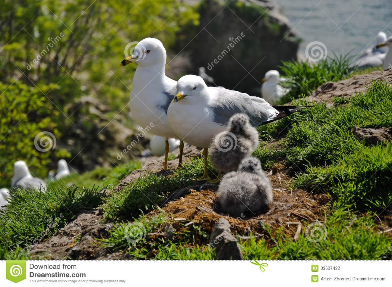 Seagull nest and chicks stock photo  Image of nest, river