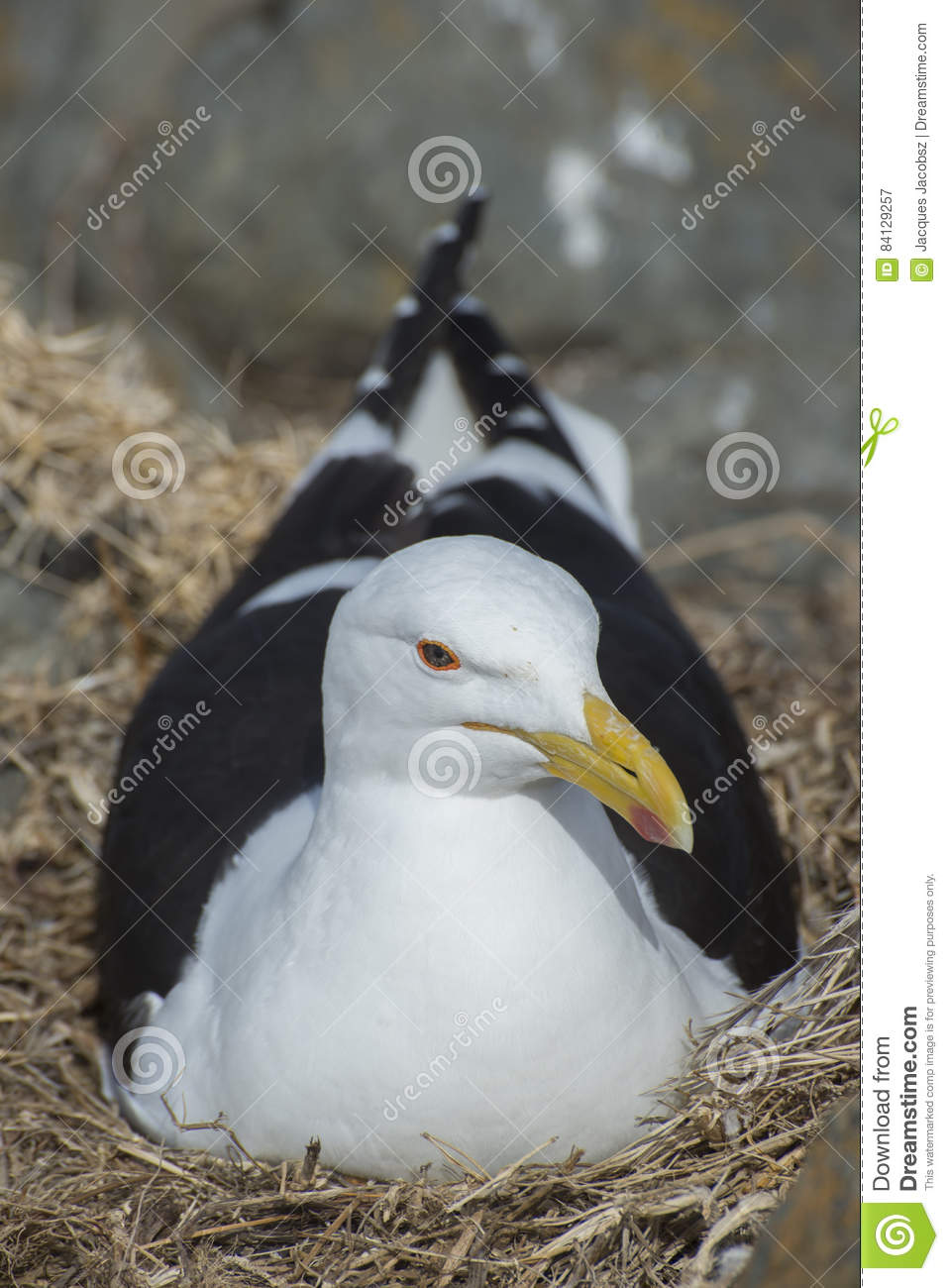 Seagull in Nest on Rocks stock image  Image of cape, storms