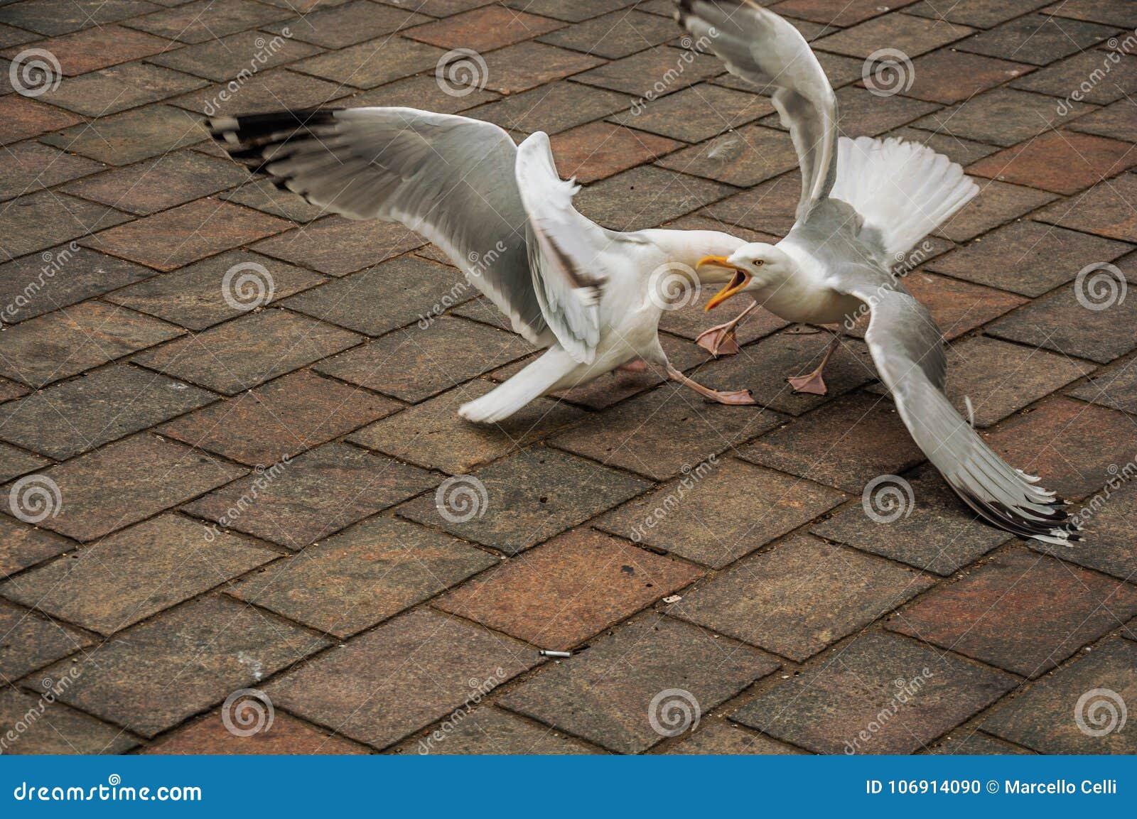 Seagull odprowadzenie na ceglanym chodniczku w chmurnym dniu przy Haga