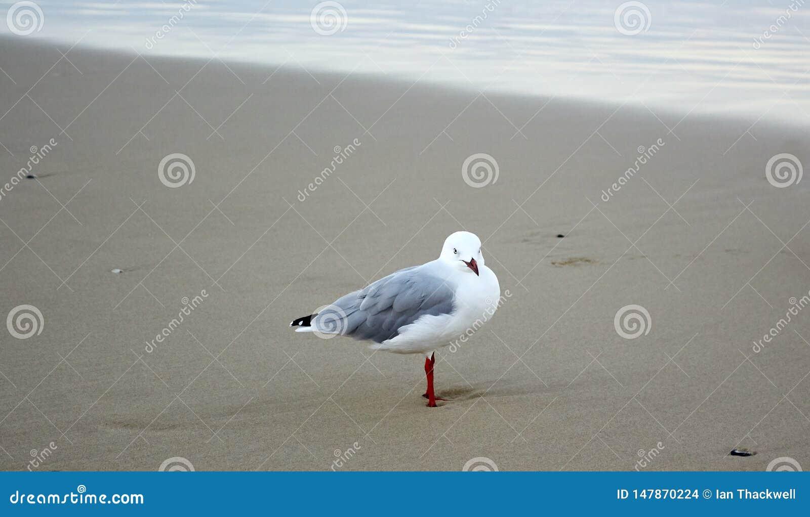 Seagull på en härlig guld- strand på en molnig dag