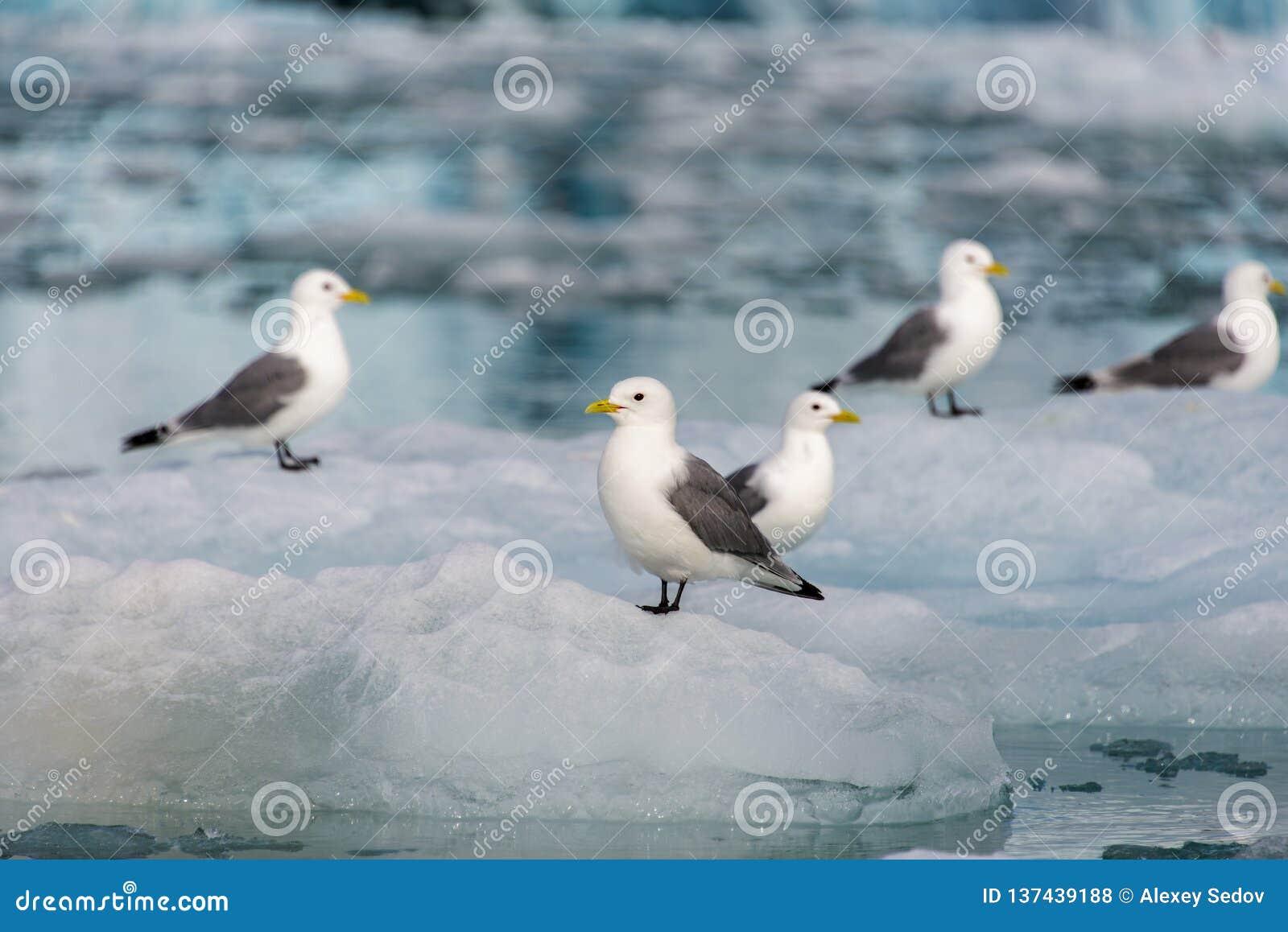 Seagull på isen i det Svalbard slutet upp