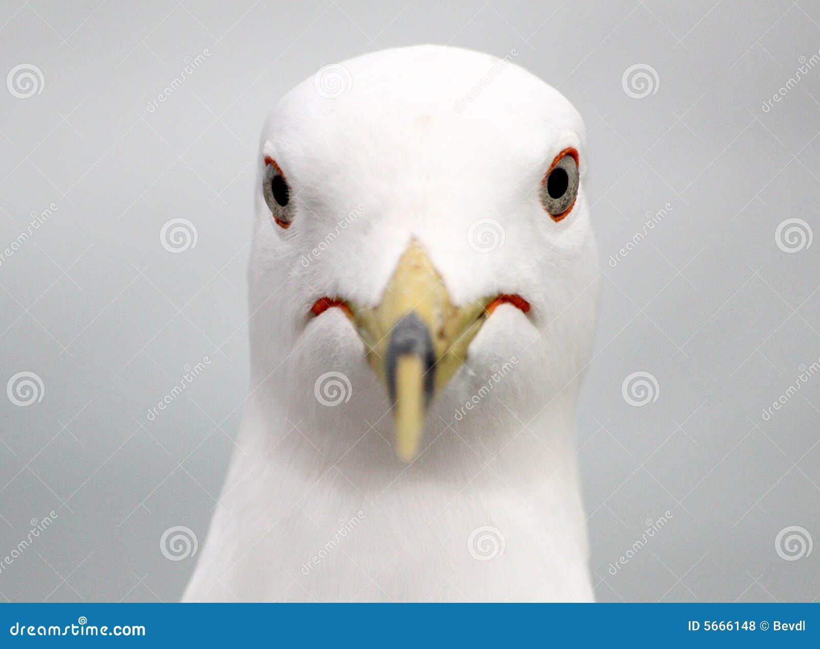 Seagull portrait