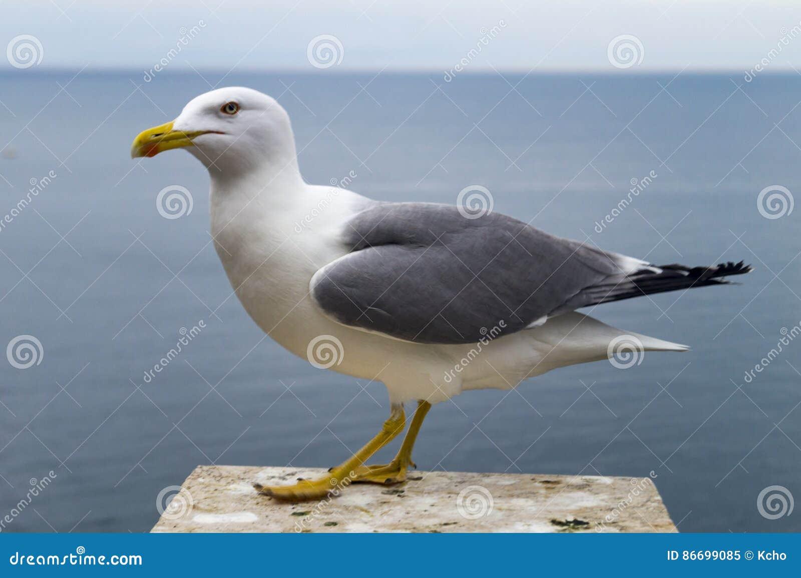 Seagull przy morzem