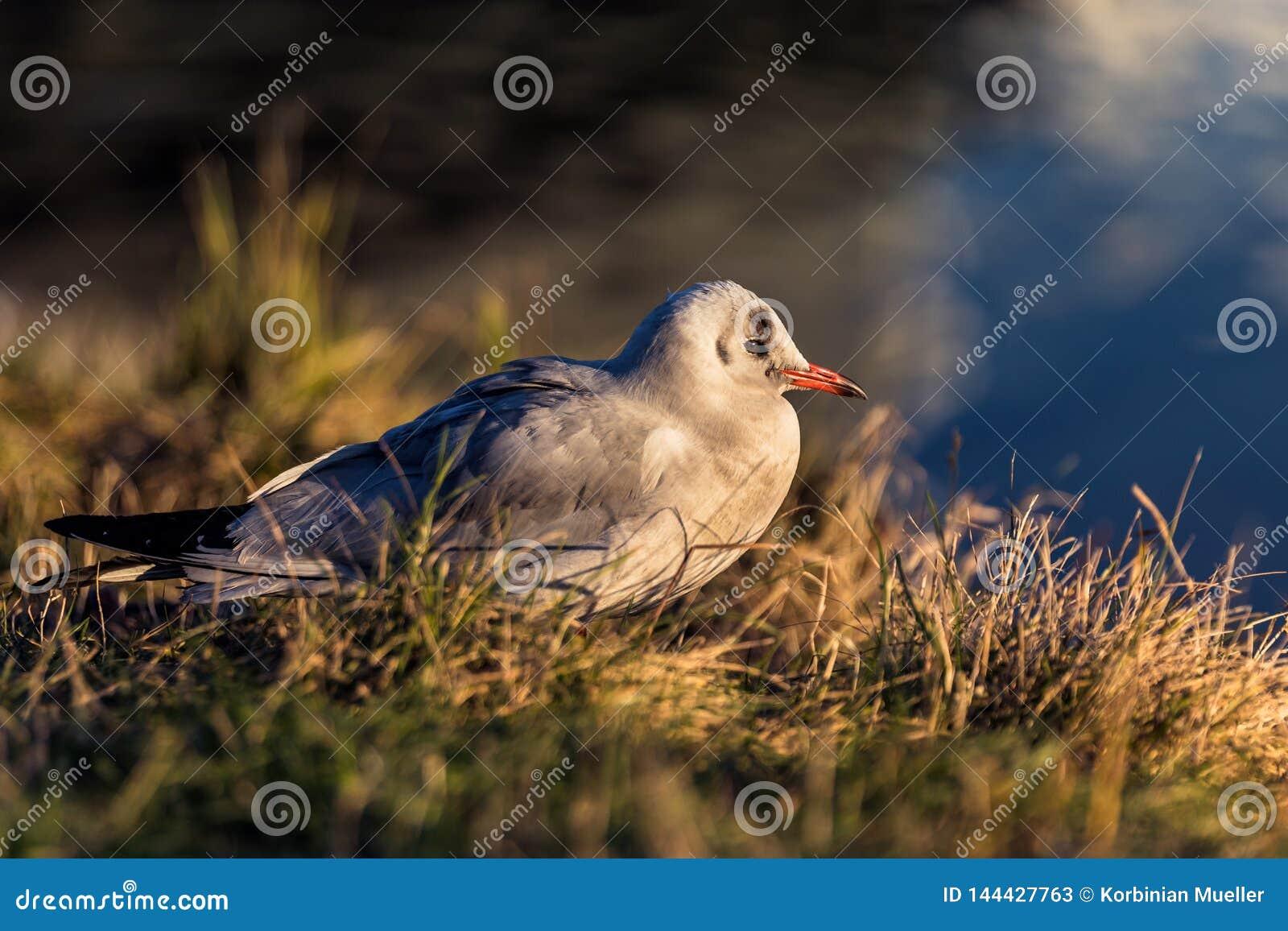 Seagull przy półmrokiem