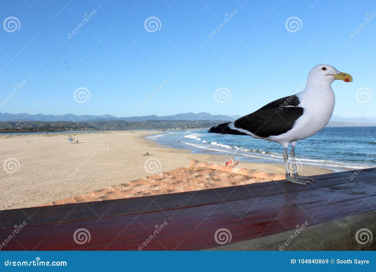 Seagull przy Plett