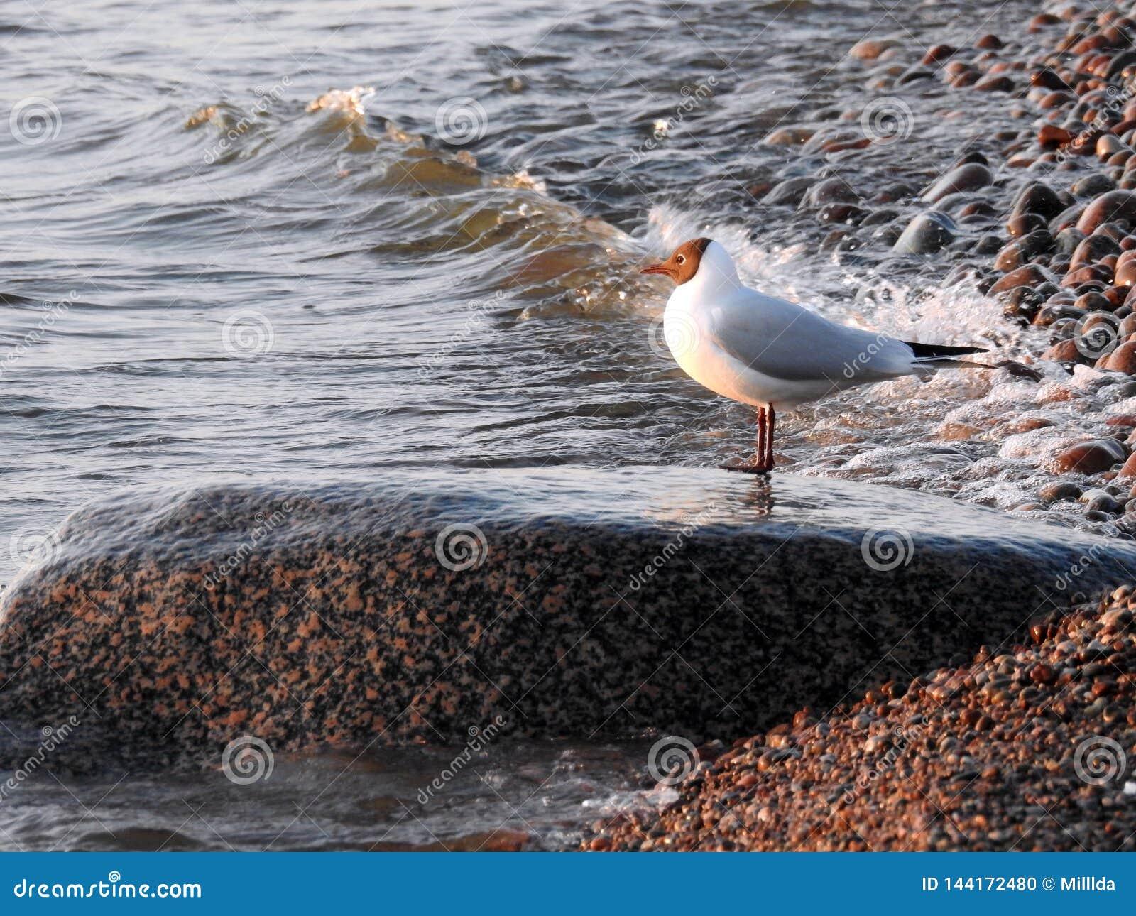 Seagull ptak na dużym kamieniu na morza bałtyckiego wybrzeżu, Lithuania
