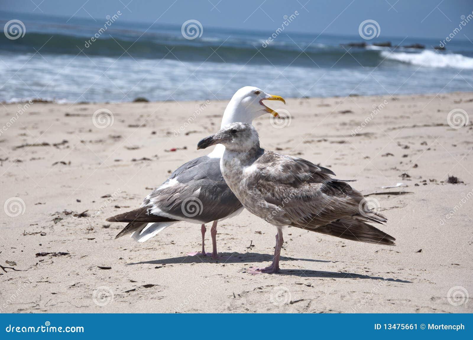 Female seagull - photo#8