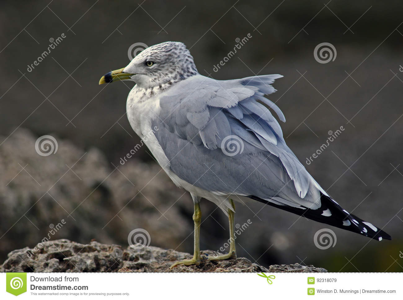 Seagull Stock Image Image Of Birds Particularly Have 92318079