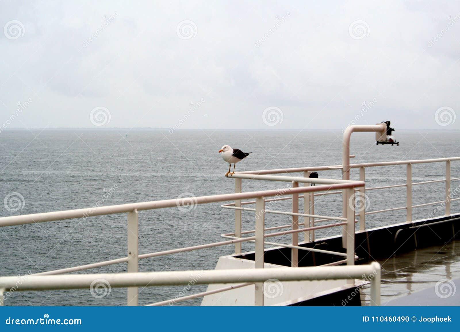 Seagull som hake-fotvandrar på färjatoTexelen,