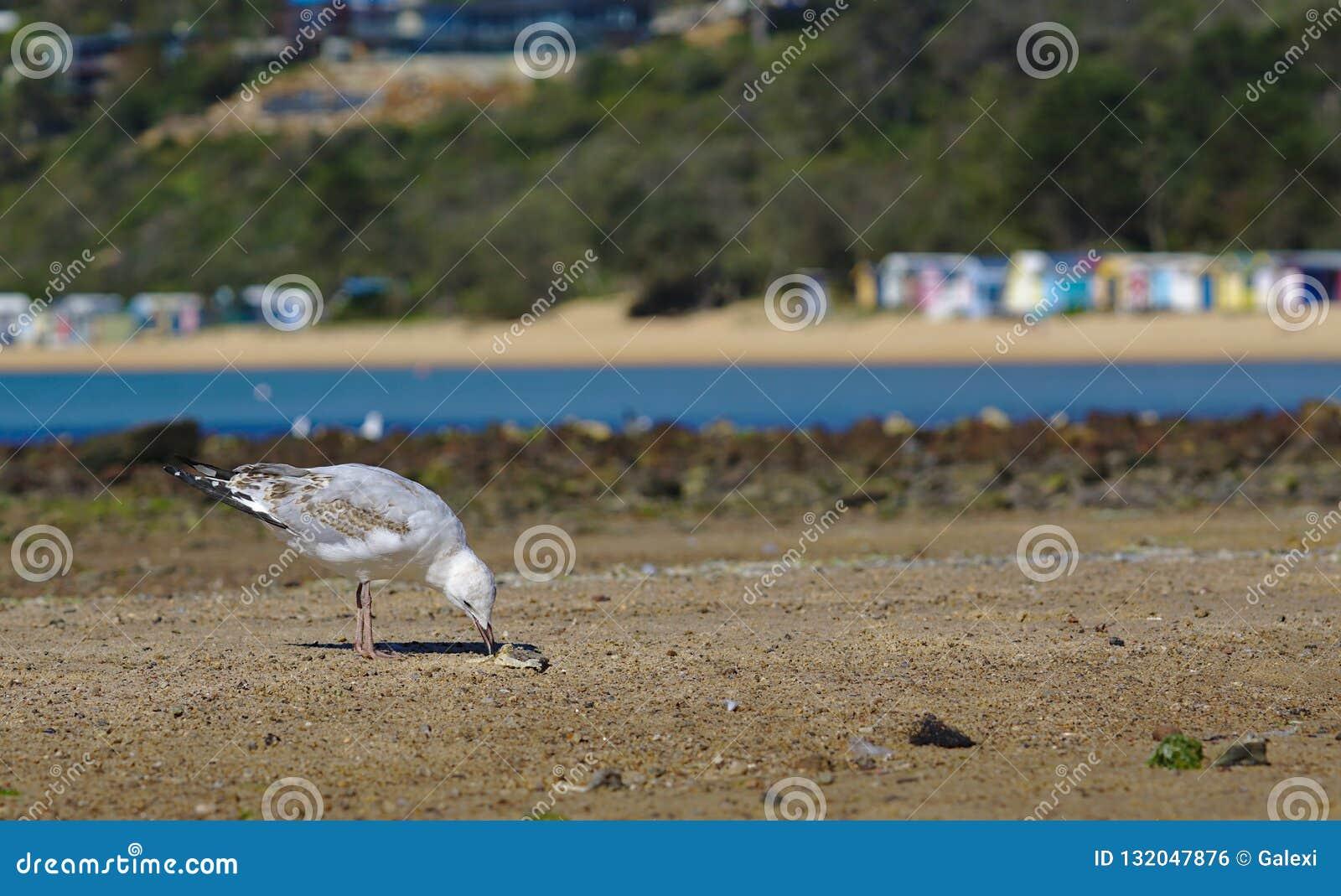 Seagull som pickar mat av sand