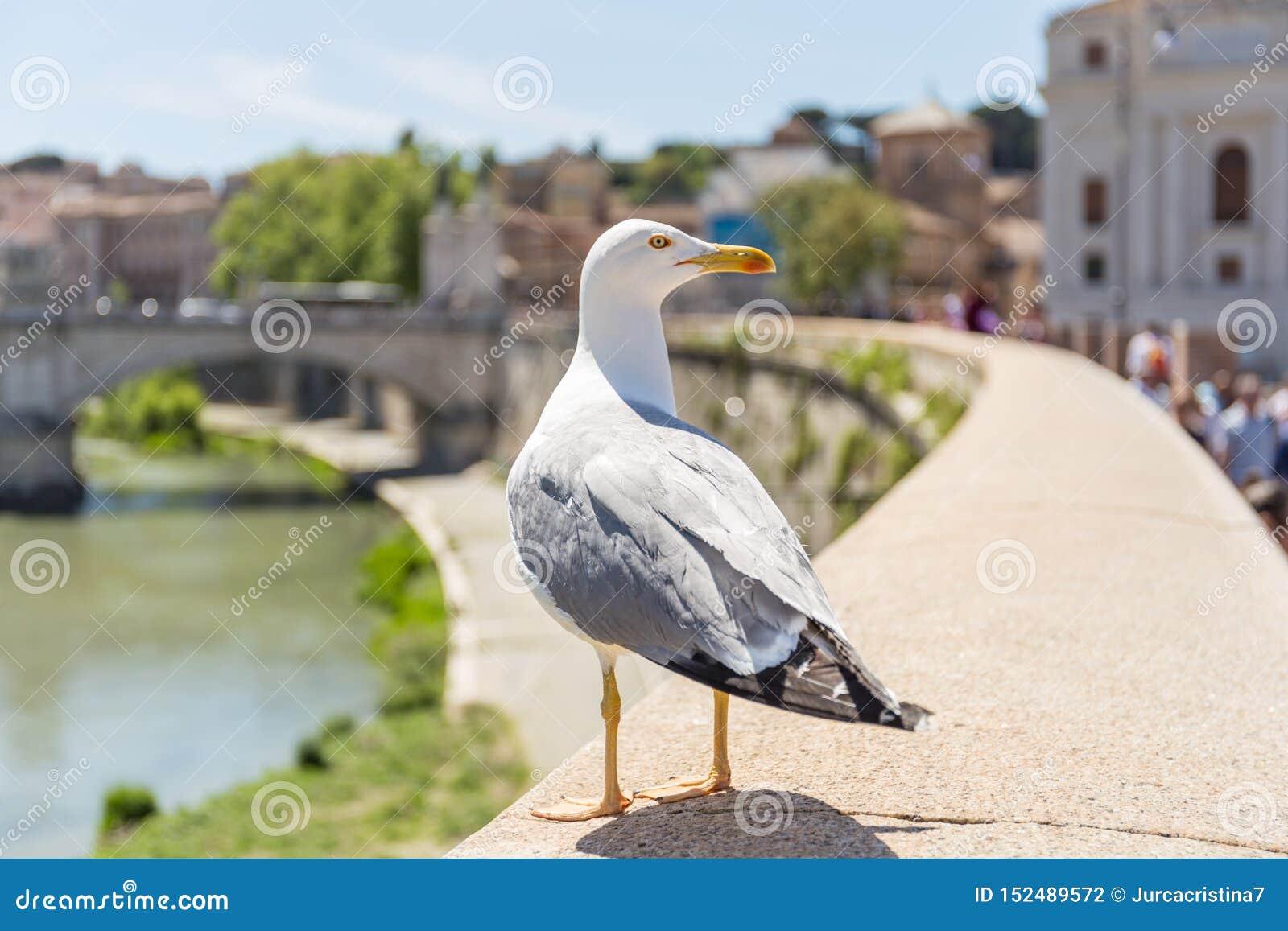 Seagull som söker efter mat på den Tiber flodväggen, Vittorio Emanuele II bro i bakgrunden italy rome