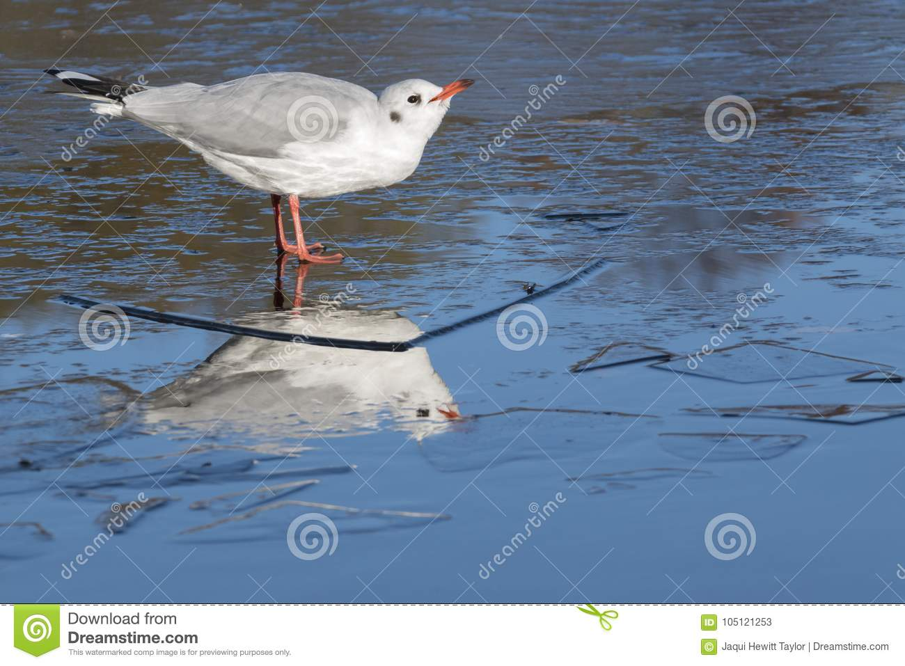 A seagull standing on the ice : Southampton Common