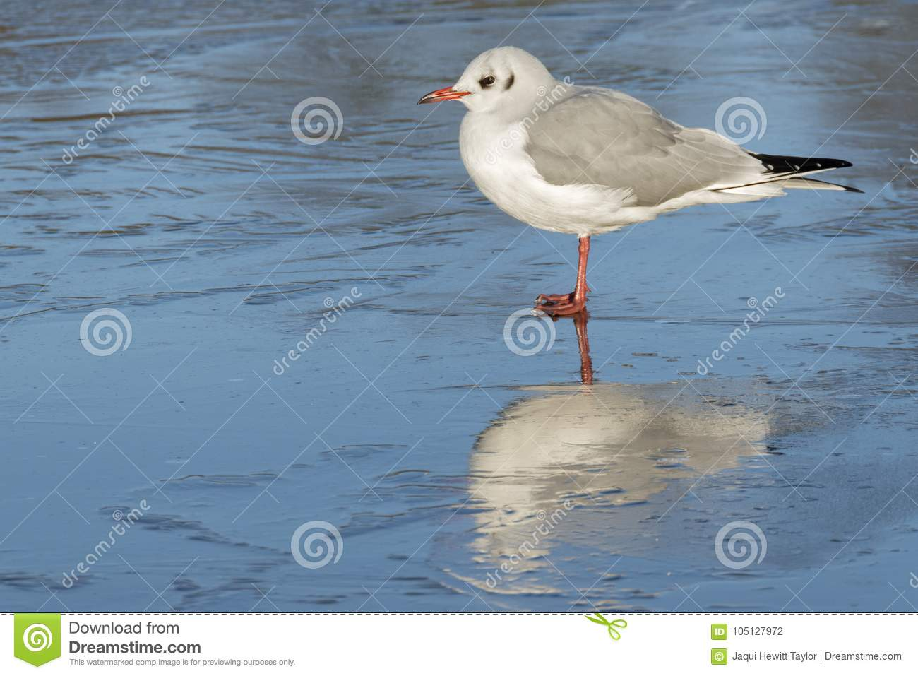 Download A Seagull Standing On The Ice : Southampton Common Stock Photo - Image of winter, lake: 105127972