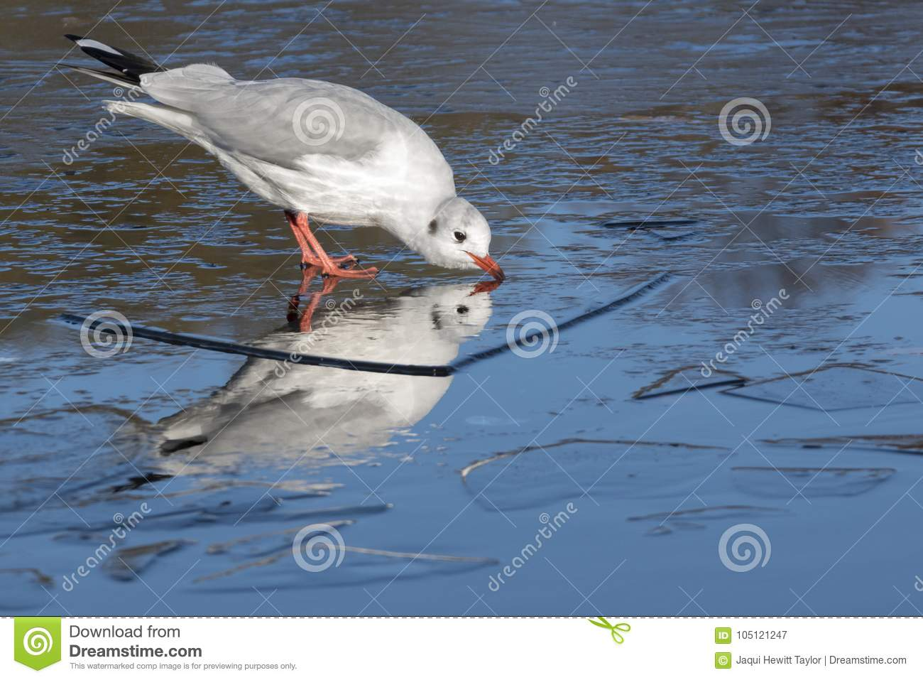 Download A Seagull Standing On The Ice Drinking: Southampton Common Stock Image - Image of seagull, cemetery: 105121247