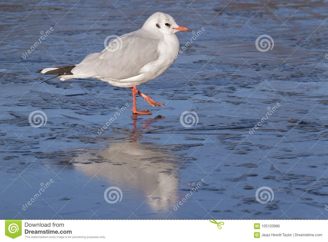 Download A Seagull Standing On The Ice : Southampton Common Stock Photo - Image of frozen, pond: 105120986