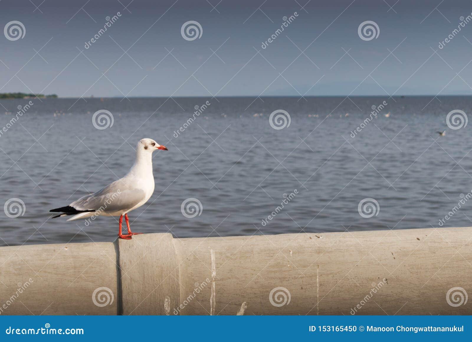 Seagull stoi samotnie przyglądającego za morzu