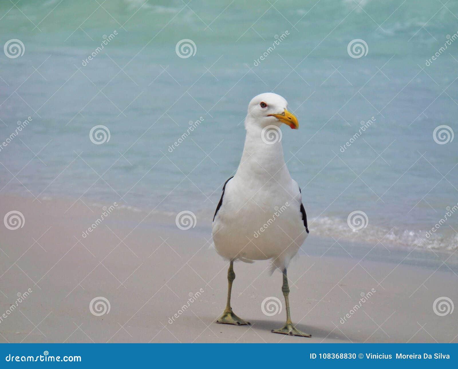 Seagull stojak na piasku, Prainhas robi Pontal plaży, Arraial robi Cabo