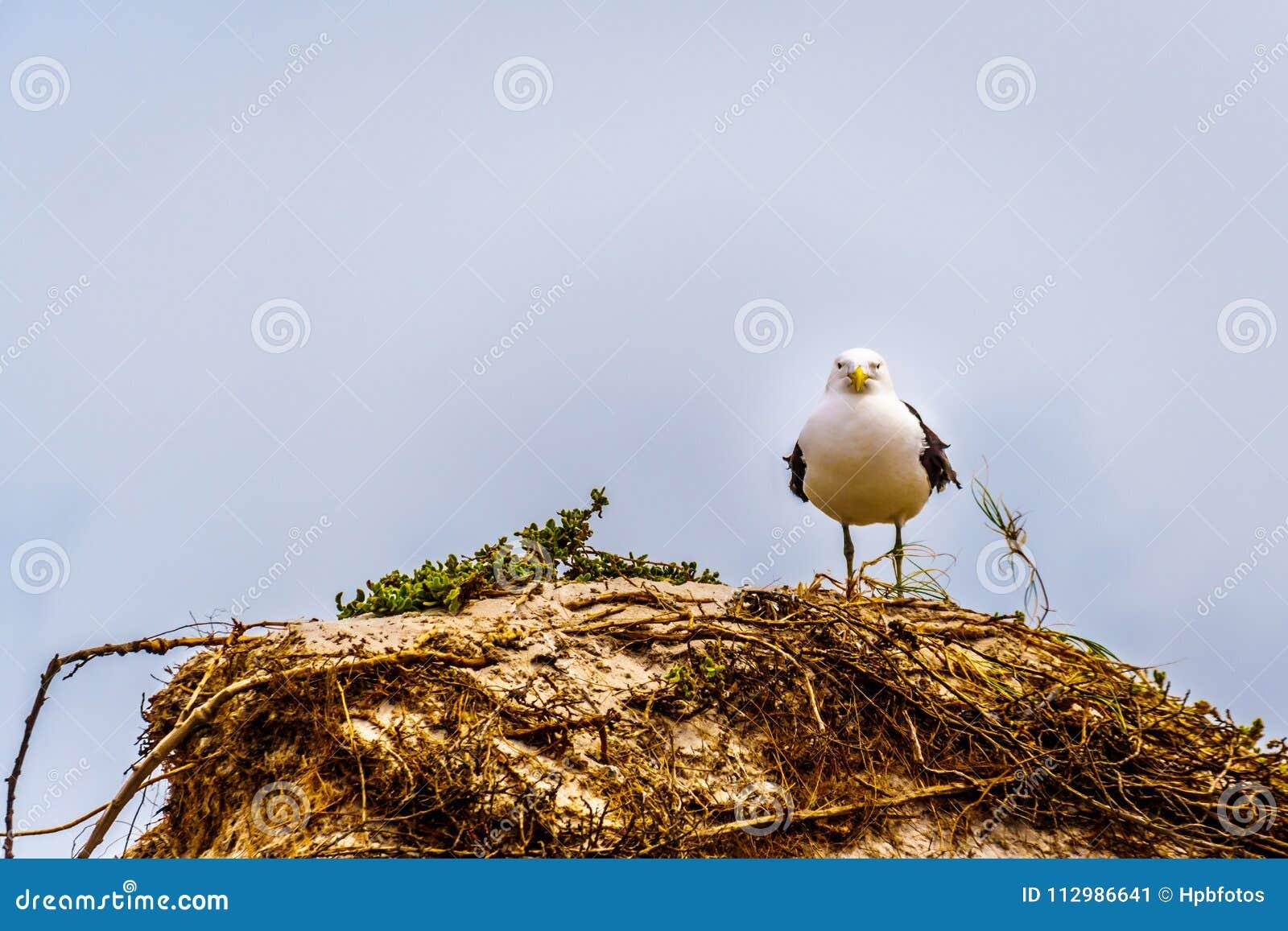 Seagull at Strandfontein beach on Baden Powell Drive between Macassar and Muizenberg near Cape Town