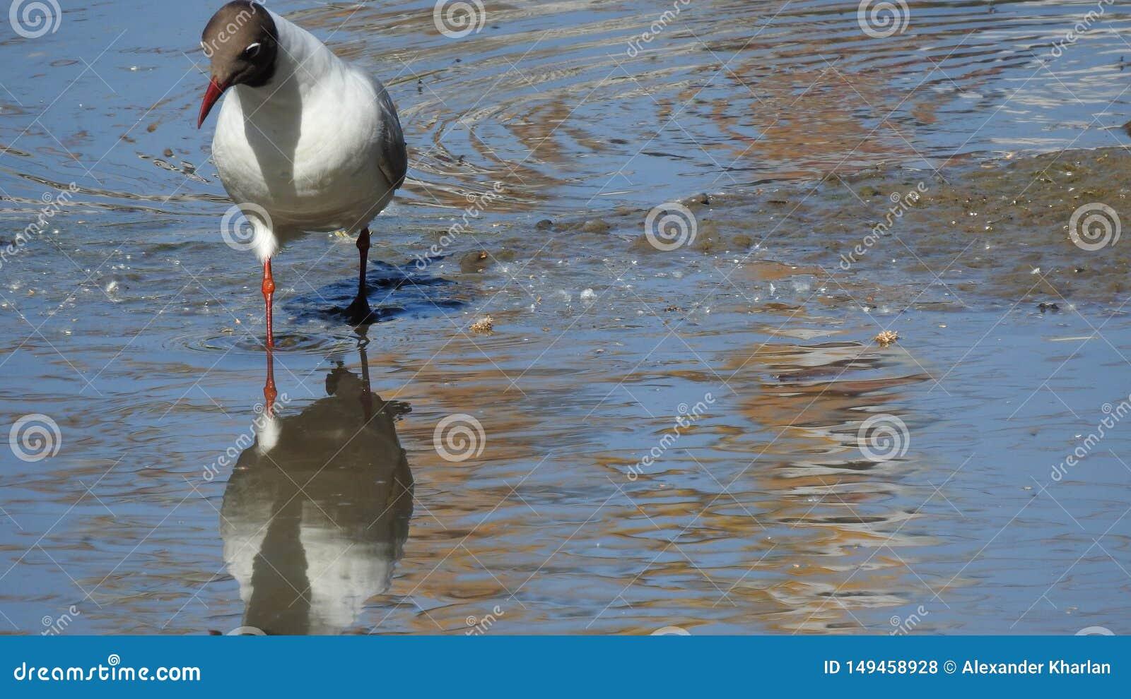 Seagull szuka jedzenie